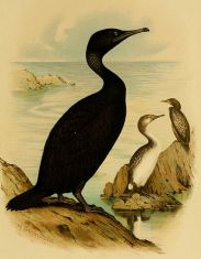 467px-Phalacrocorax_nigrogularis